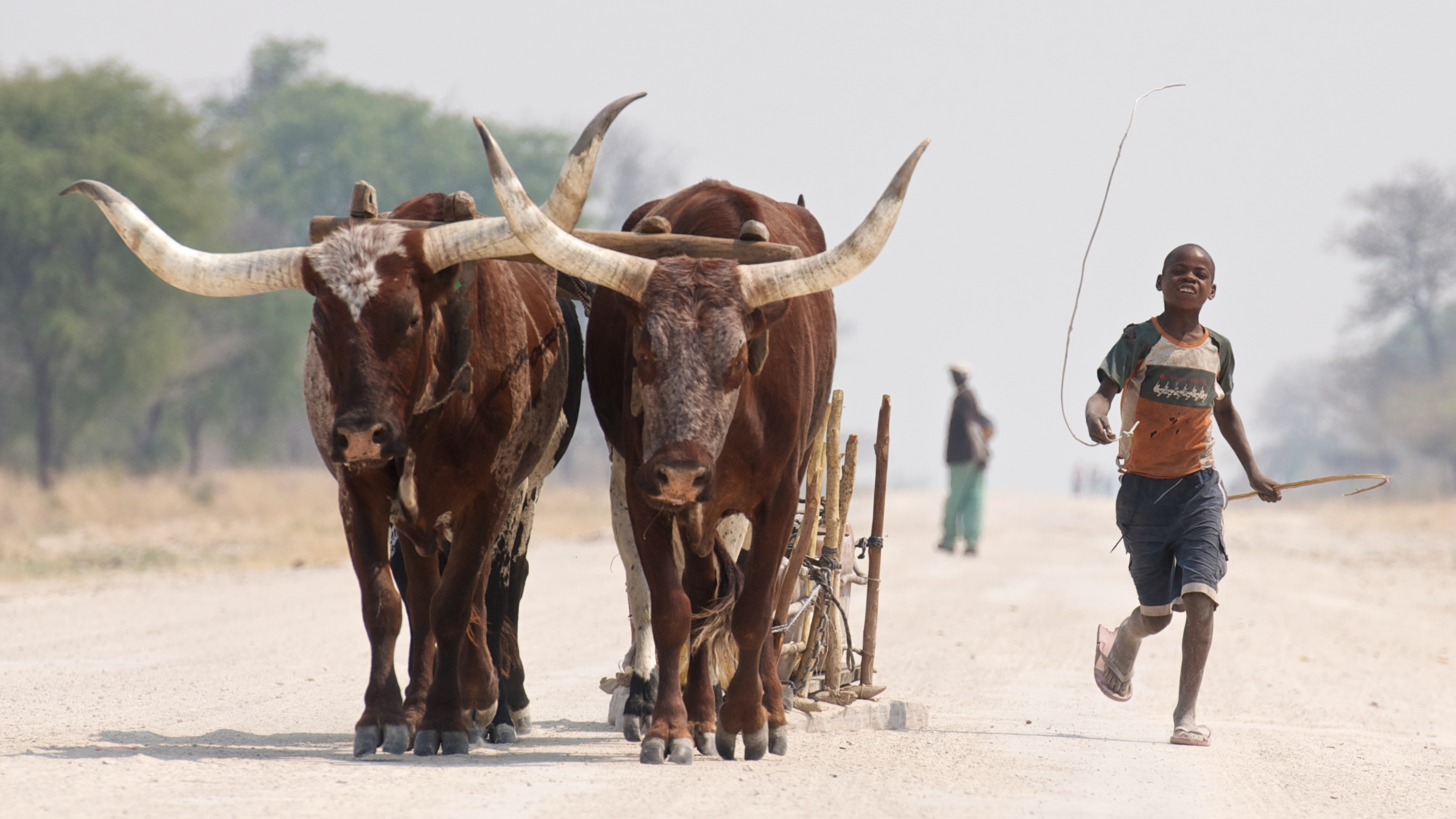 A boy leading two oxen down a road