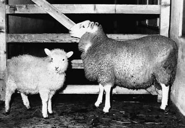 Border Disease Virus in Sheep