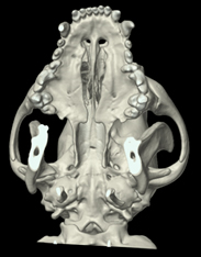 CT image of a dog's skull