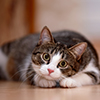 Tabby cat resting its head on paws, looking at camera