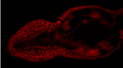 Tail Section of a transgenic zebrafish