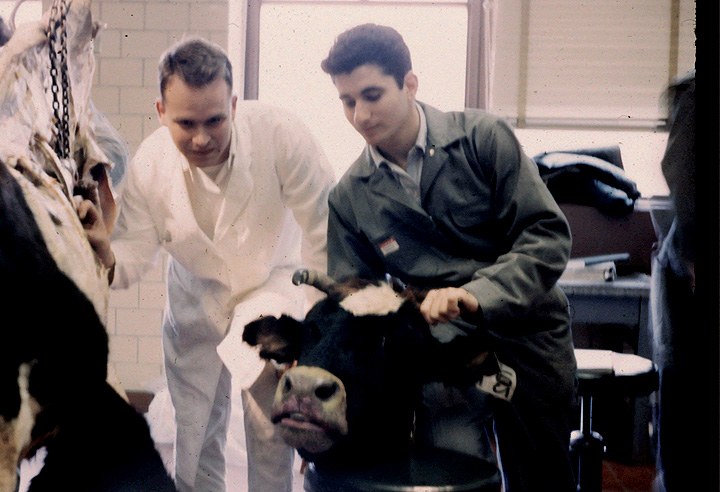 Jerrold Ward as a student in anatomy class, standing above a cow while other students look on