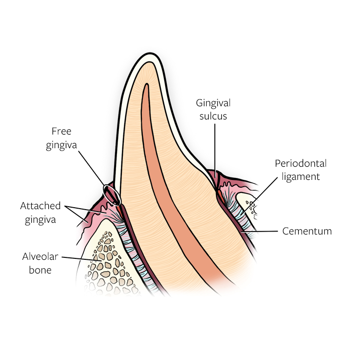 Anatomy drawing of a canine tooth