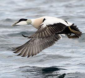 Virus causing mass Cape Cod duck die-offs identified | Cornell