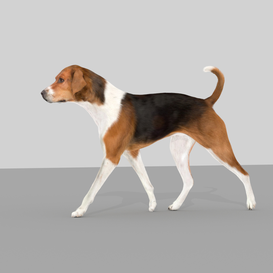 Beagle walking