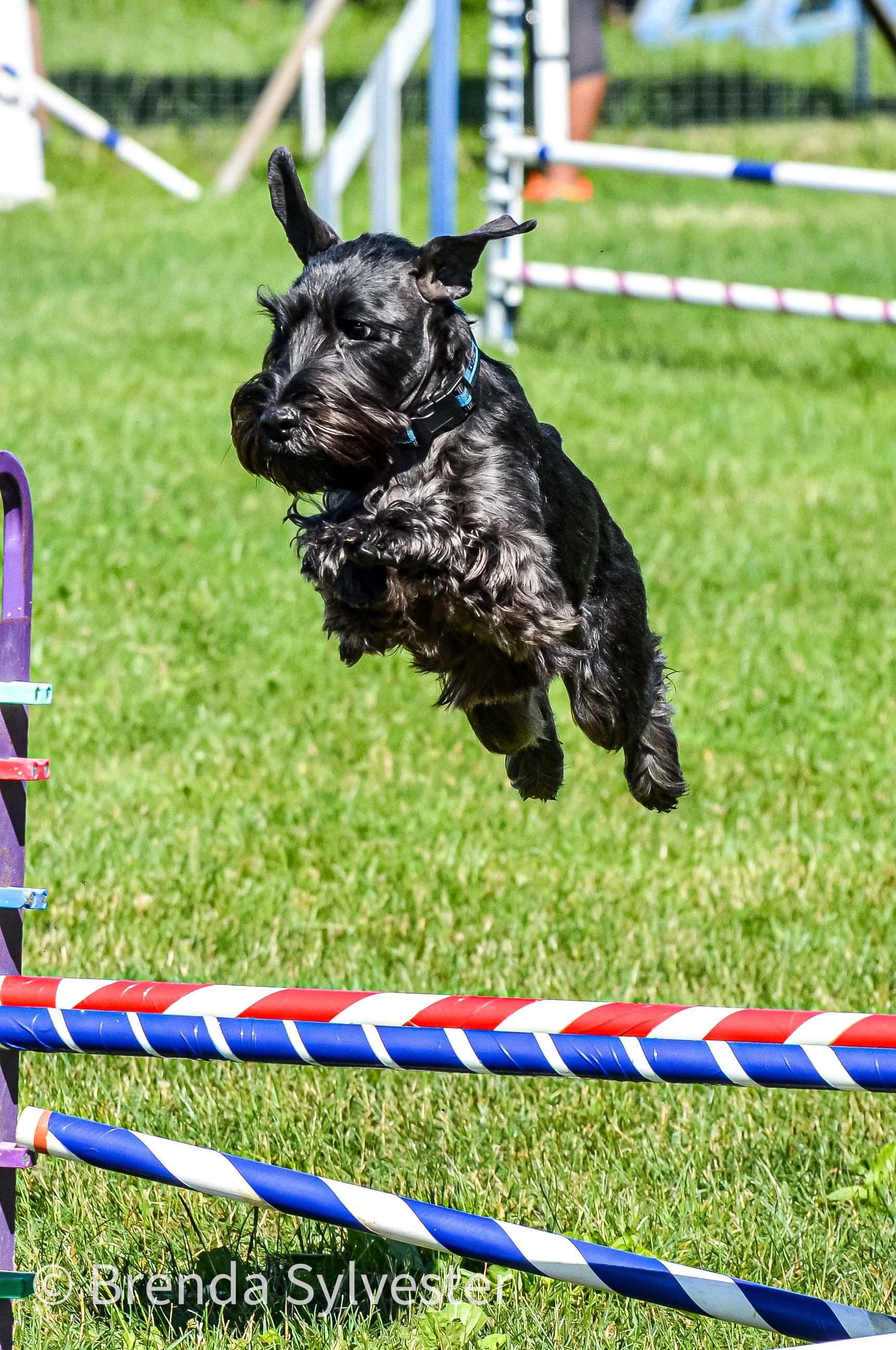 A dog jumps over a hurdle at an agility event.