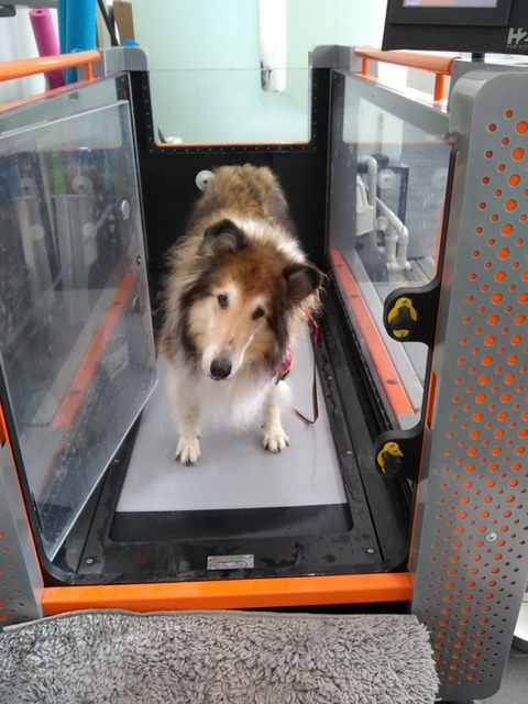 A collie standing in a water treadmill that's dry and has the door open