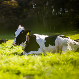 Cow lighted by the sun in a grassy field