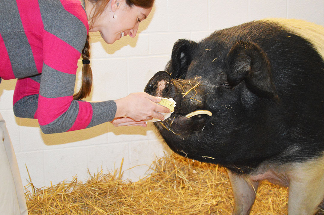 Hampshire pig in veterinary stall