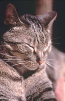 Loving Care for Older Cats   Cornell University College of
