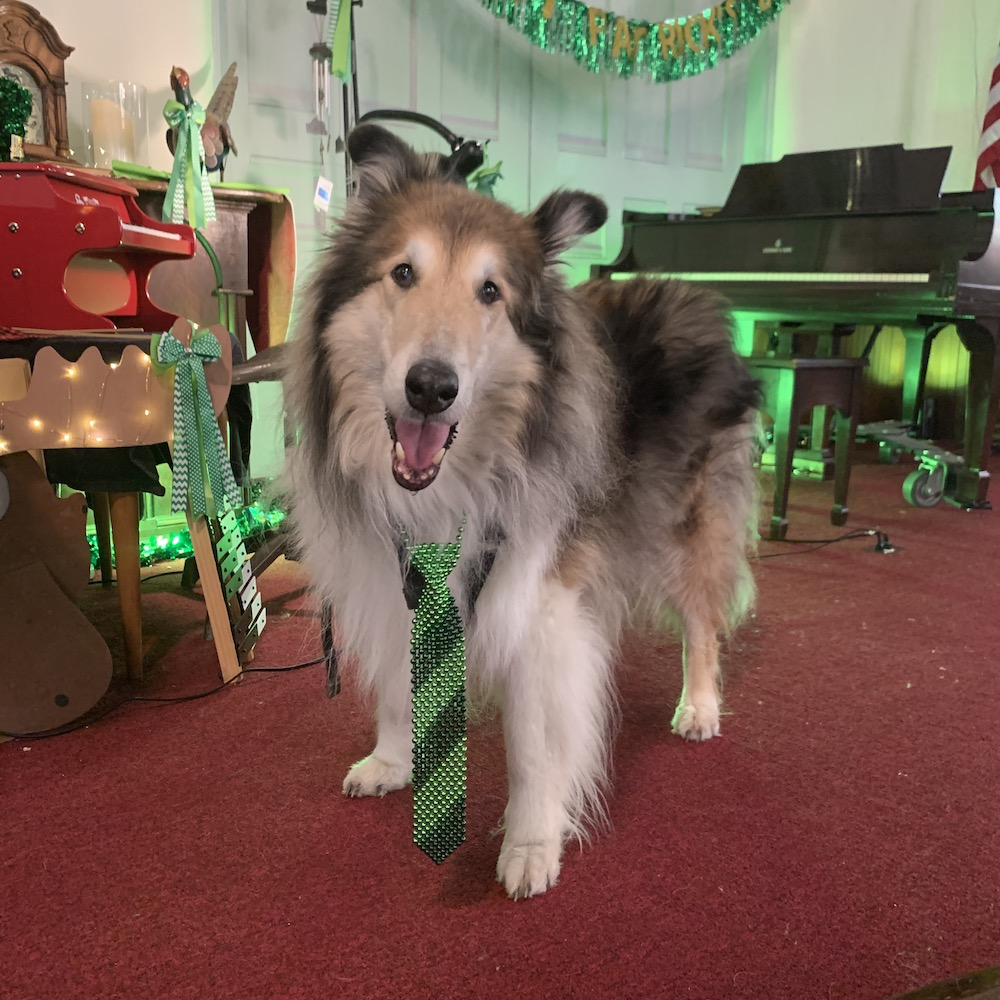 A collie standing in a church decorated for St. Patrick's Day
