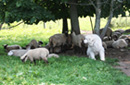 Pyrenees dog with sheep