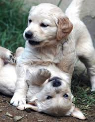 pure breed puppies