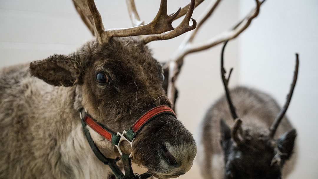 Reindeer at the Cornell University Hospital for Animals