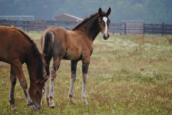 2 foals in a field