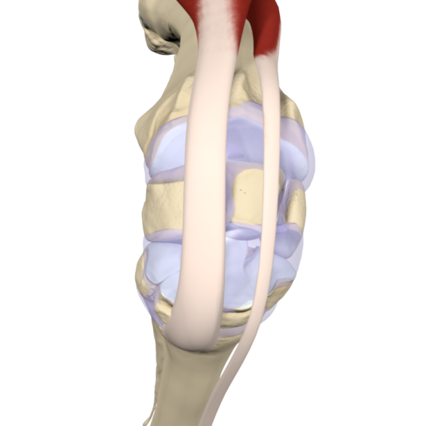 rendered image of horse leg joint