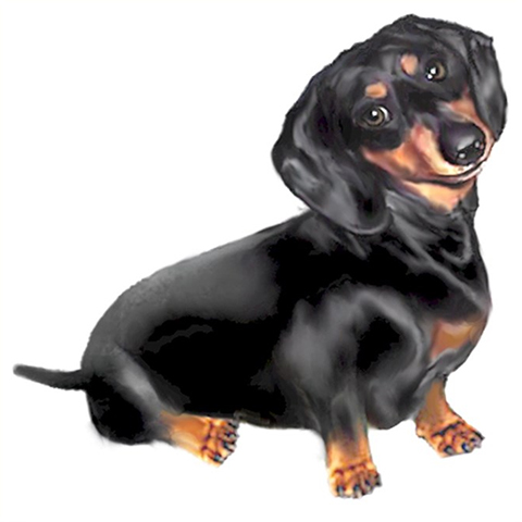 black and tan dachshund dog