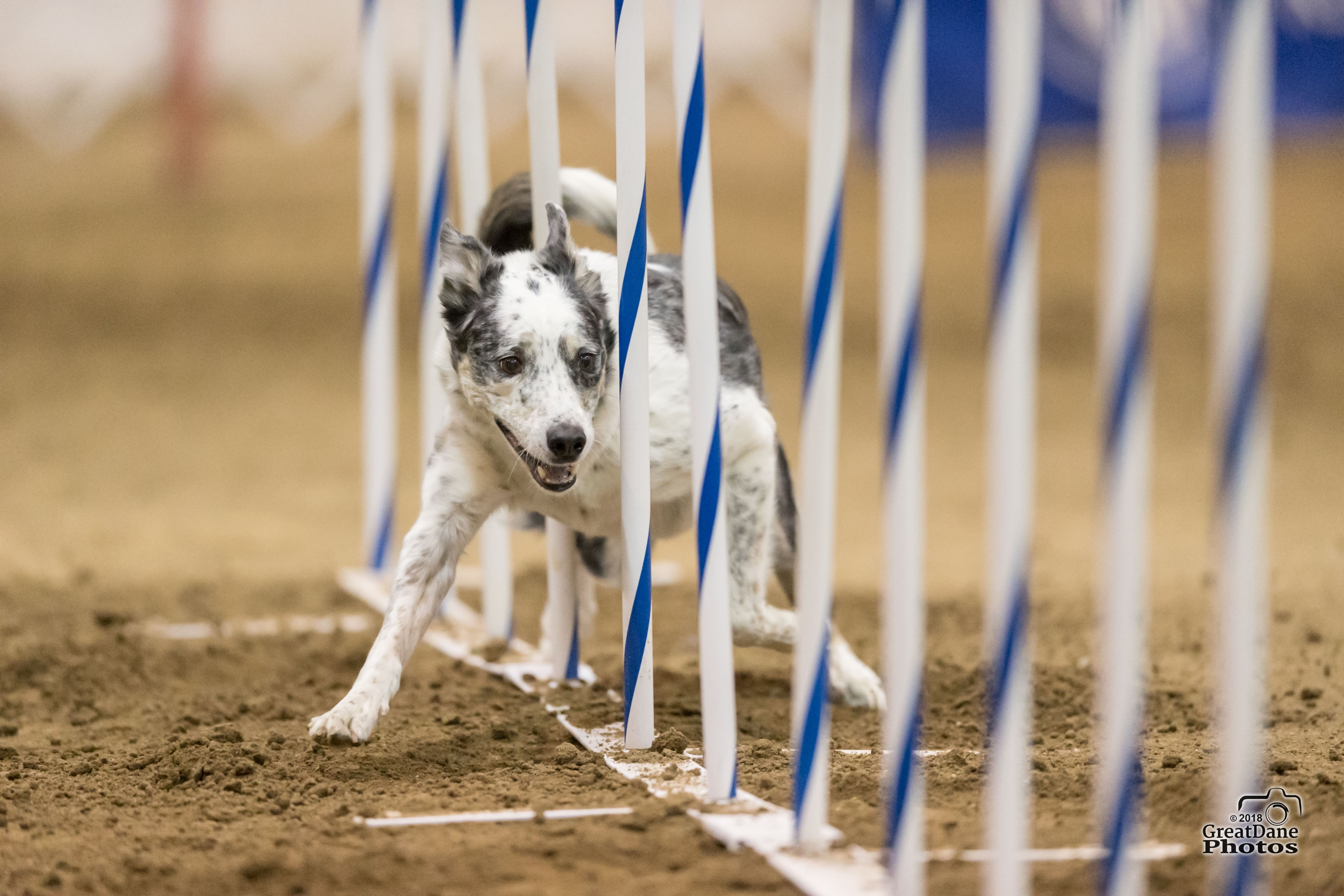 A dog running weave poles in an agility event.