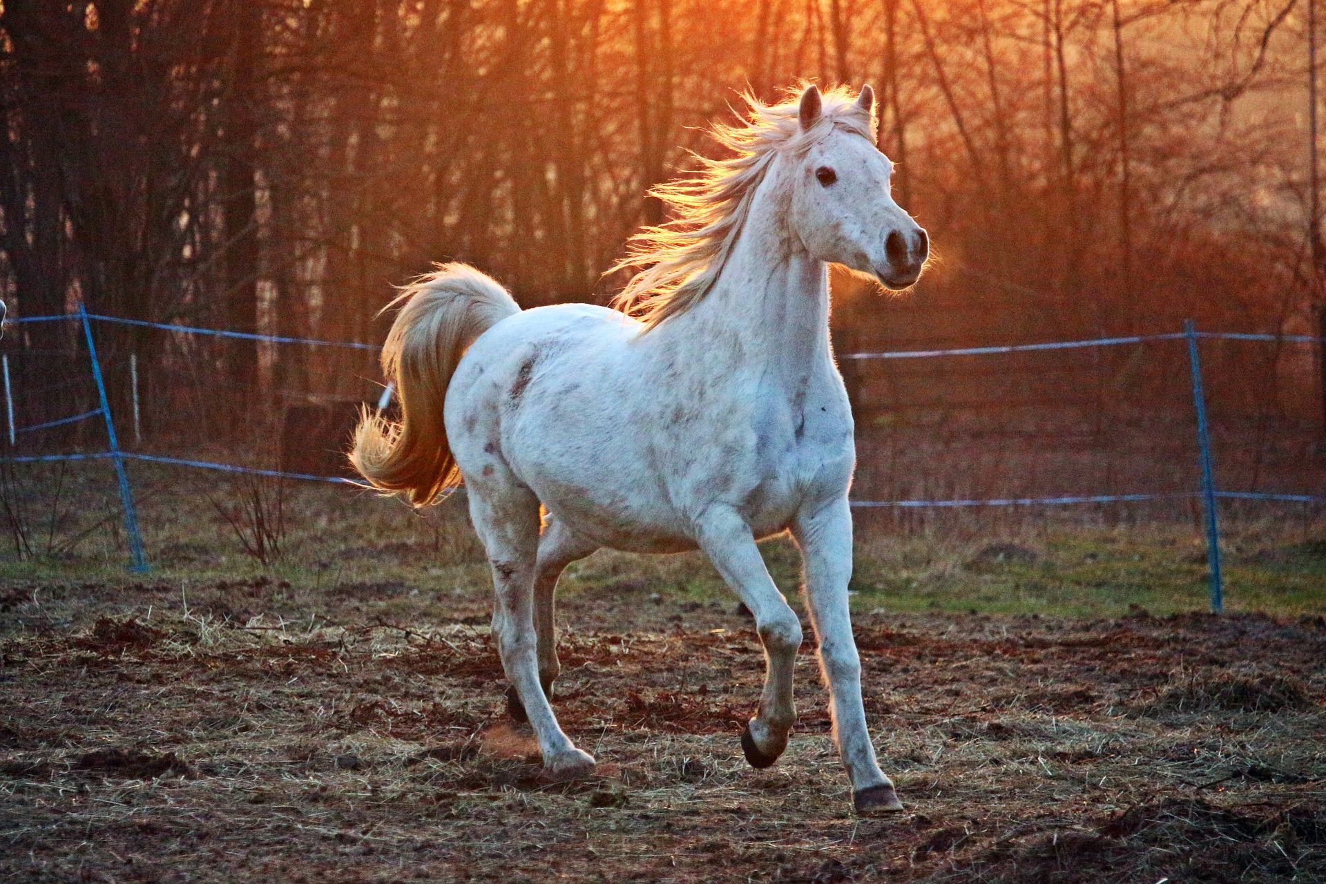 White horse running through a field