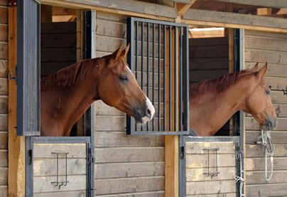 Polo ponies in stable