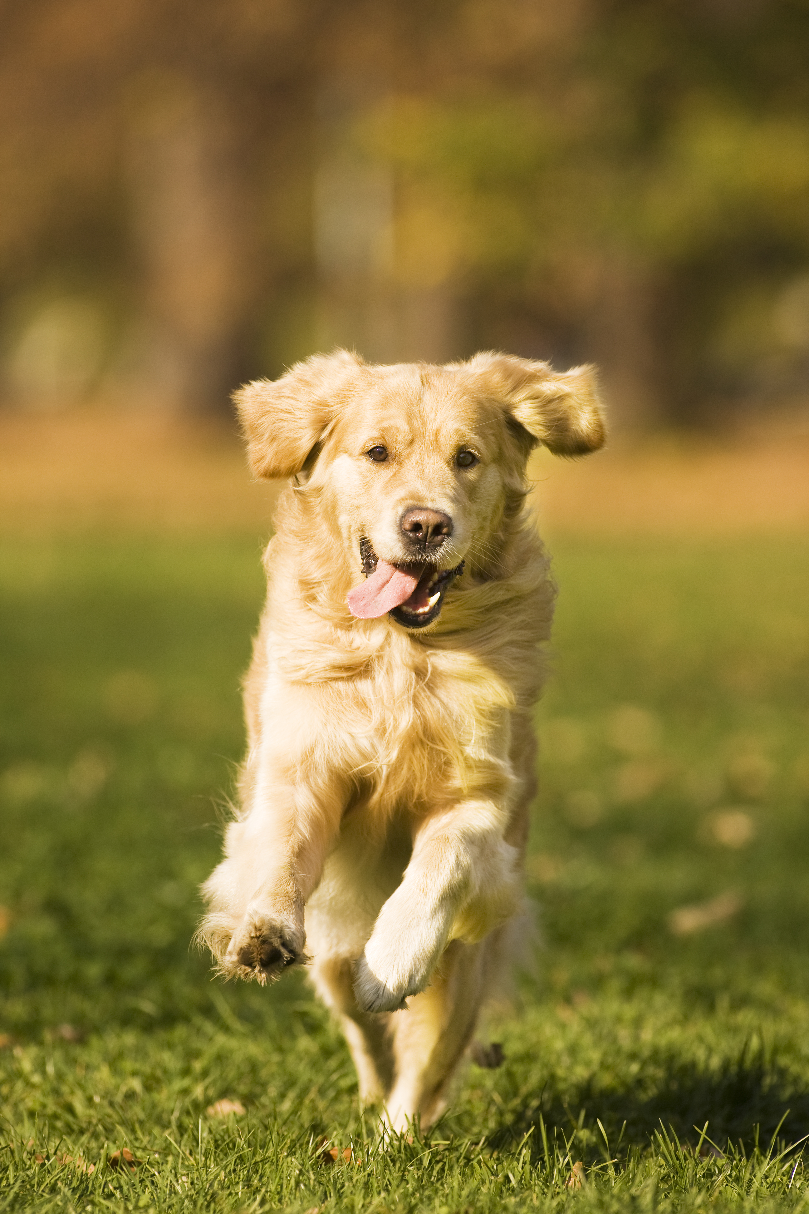 Golden retriever running on grass with tongue hanging out right side of mouth