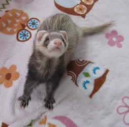 Ferret on a blanket