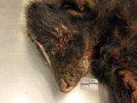 Striped skunk with ocular discharge typical of canine distempter infection