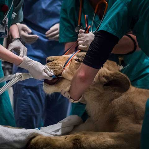 A lioness being prepped for surgery
