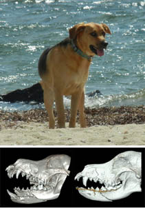 Brown dog on a beach and a CT image showing before and after jaw repair