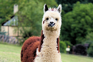 Alpaca looking into camera