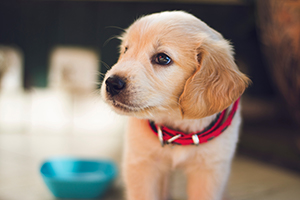 cute golden lab puppy with red collar