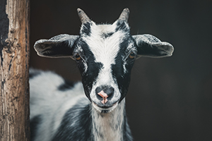 black and white goat looking into camera