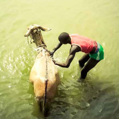 Boy with water buffalo