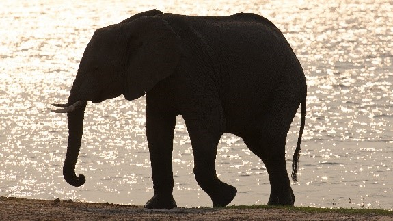 Elephant walking beside a river
