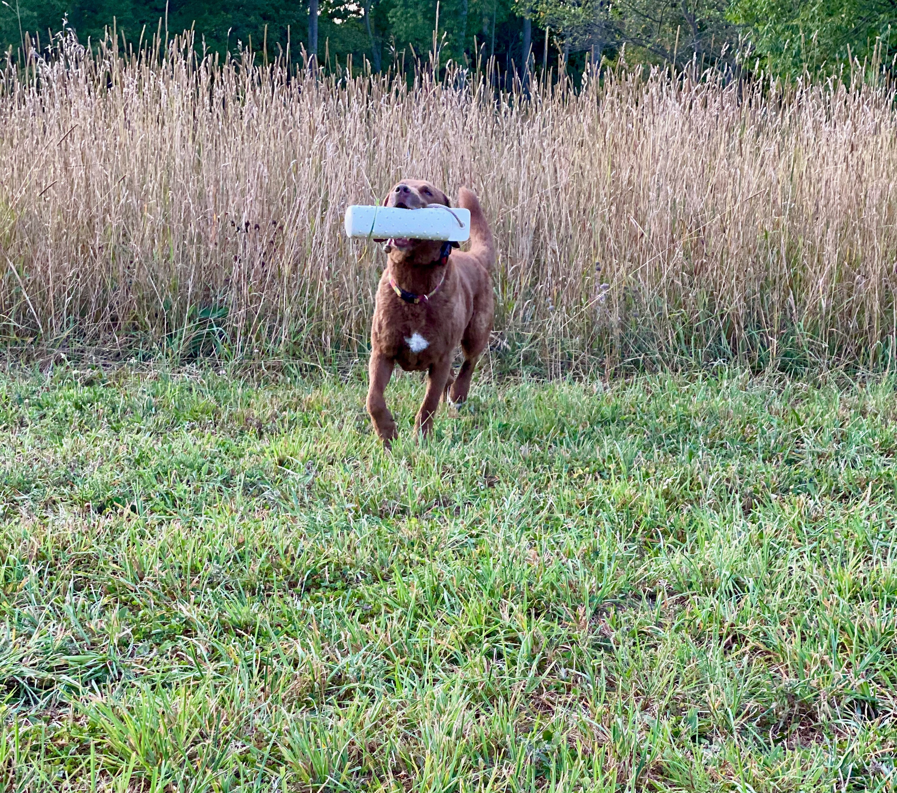 A chesapeak retriever performing field trial work.