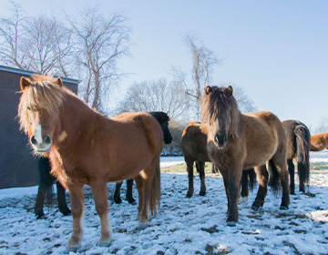 A herd of horses imported from Iceland