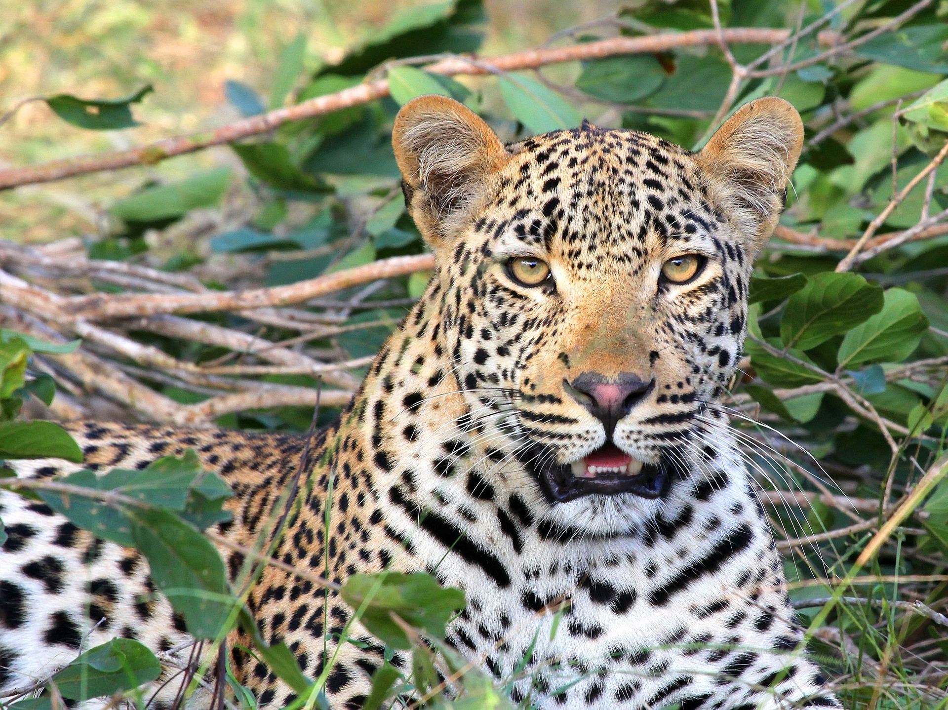 A leopard in the brush