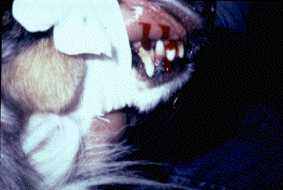 Mouth and lip bleeding in canines