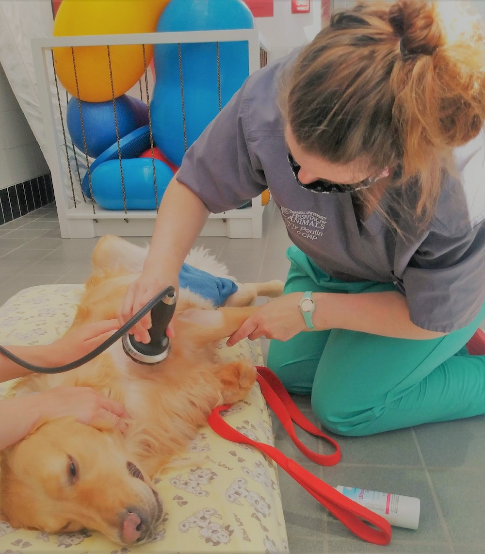 A golden retriever lies down as a veterinarian applies shockwave therapy to his shoulder