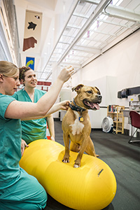 Two clinicians use a physioball to provide physical therapy for a dog.