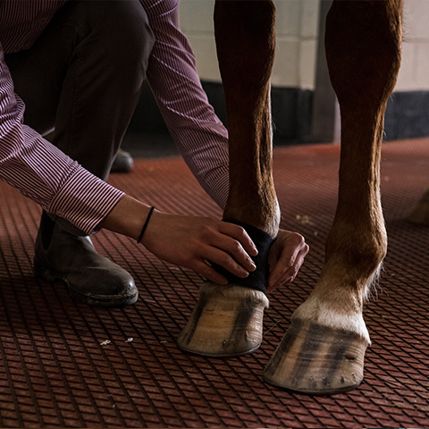 Lameness locator sensor is placed on the right front pastern.