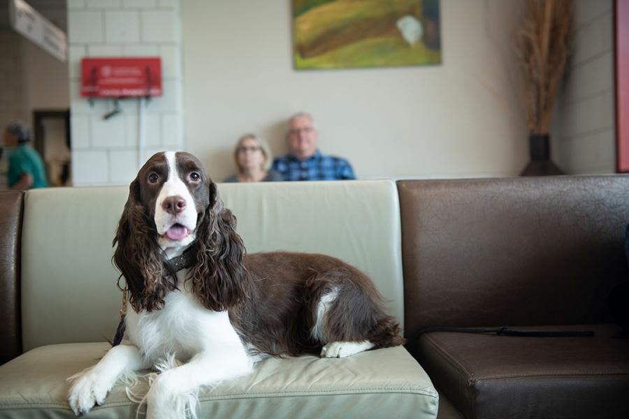 An English springer spaniel sitting in the CUHA waiting room