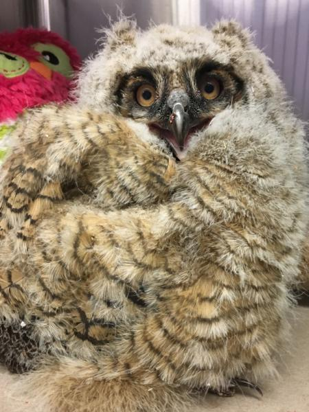 A juvenile great horned owl that was blown from the nest during a storm.