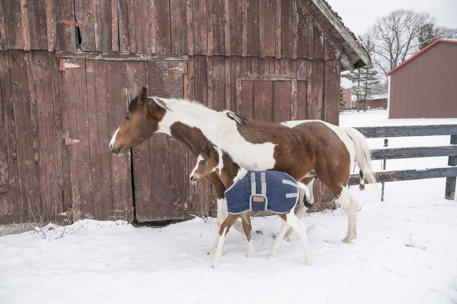 Moe and her foal Tigger stretch their legs at the Cornell Equine Park