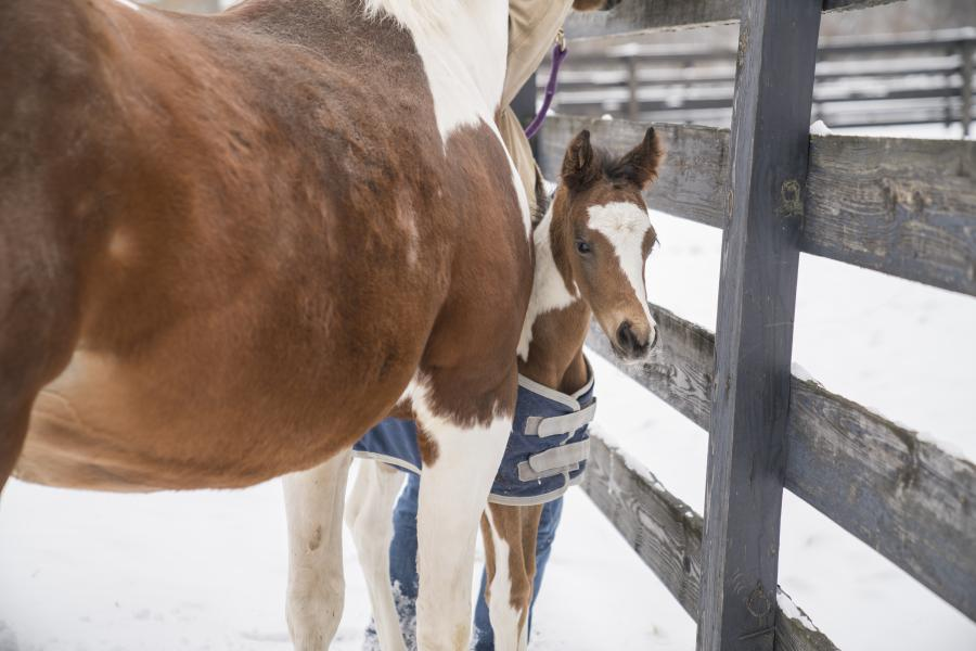 Tigger the foal peeks from behind his mother at the Cornell Equine Park.