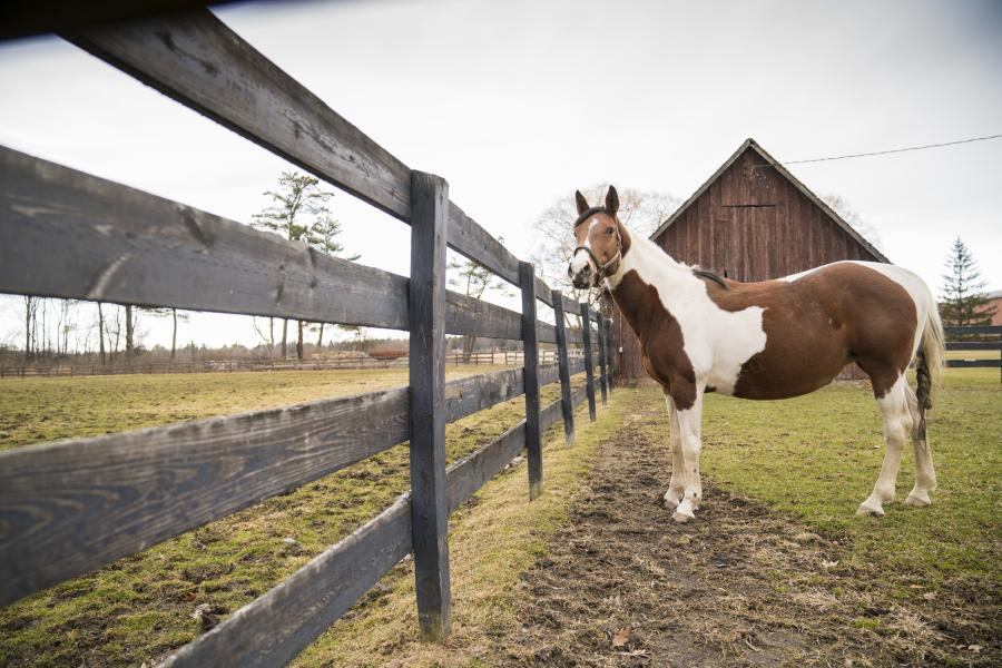 Moe, a pregnant mare at the Cornell Equine Park stands outside in a paddock