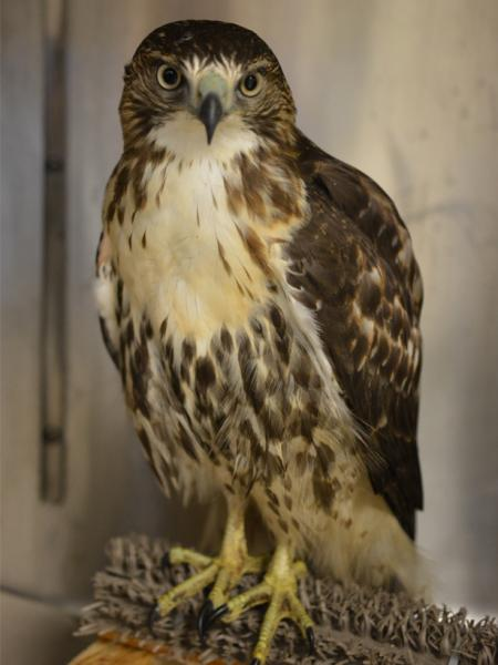 A red-tailed hawk recovering from West Nile virus.