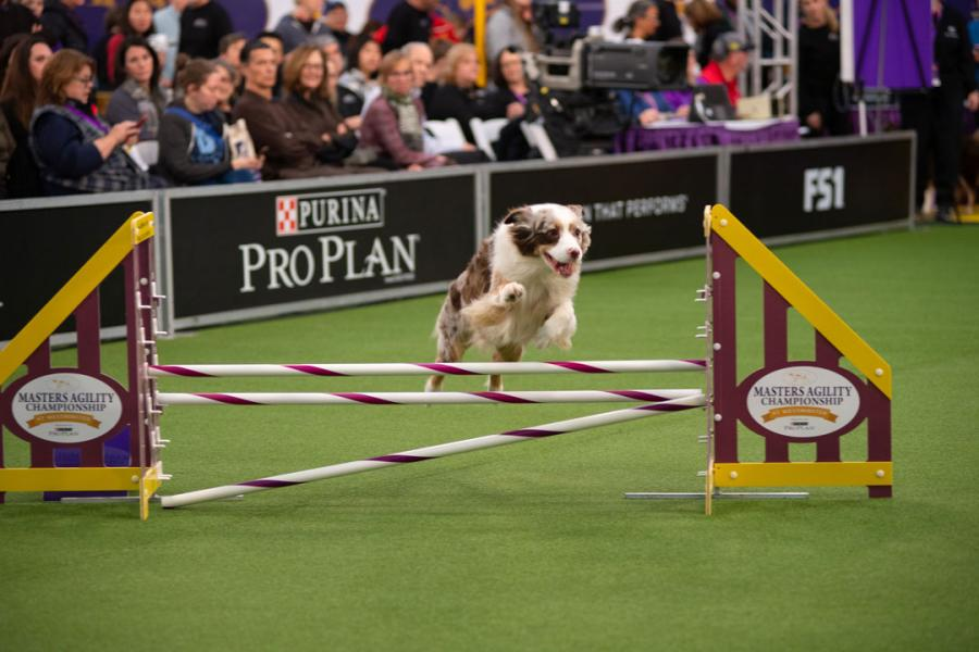 A Australian shepherd jumps over an obstacle at Westminster