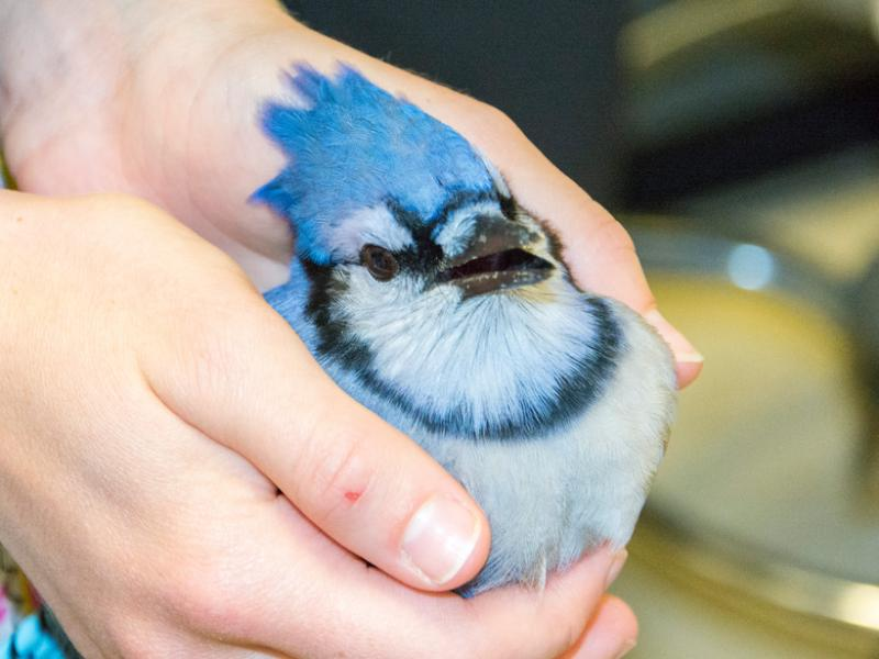 An adult bluejay waiting to receive treatment for cat bite wounds.