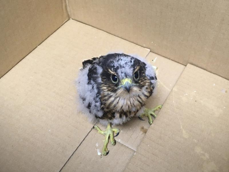 An orphaned merlin.